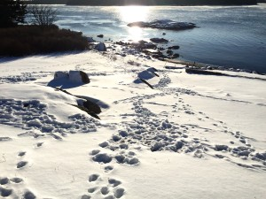 deer tracks on a frigid morning on the coast of Maine
