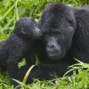 gorilla-kisses-bwindi-impenetrable-national-park-uganda1