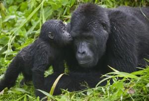 gorilla-kisses-bwindi-impenetrable-national-park-uganda1