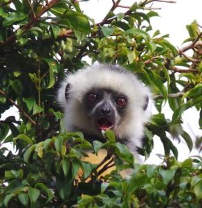 Baby_Sifaka_Madagascar